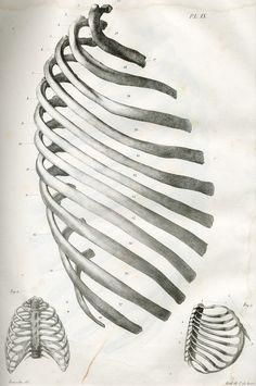 Author: n/a Date: 1821-1831 Description: Fig. 1 : Les douze côtes droites vue par leur face externe, dans leur situation respective, pour faire voir la forme et la direction de ces os et des espaces inter-costaux. Grandeur naturelle. Fig. 2 : La poitrine d'un fetus à terme, face antérieure. Grandeur naturelle. Fig. 3 : partie latérale droite de la poitribe d'un fetus à terme. Technique:  Lithographic drawing Source:  Anatomie de l'homme, ou, description et figures lithographiées de toutes…