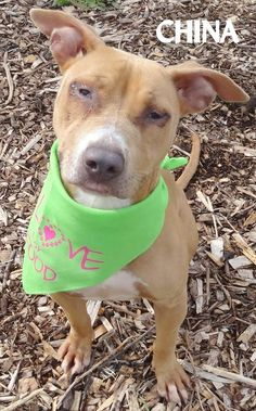 ADOPTED! Tag# 11683 Name is China Pit Bull Terrier Female-unsure of spay Approx. 1 year old Approx. 40 lbs. Very friendly girl who loves to play! May have eye entropion, will need vet verification...  Located at 2396 W Genesee Street, Lapeer, Mi. For more information please call 810-667-0236. Adoption hrs M-F 9:30-12:00 & 12:30-4:15, Weds 9:30-12:00 & Sat 9:00-2:00   https://www.facebook.com/267166810020812/photos/a.889960881074732.1073742190.267166810020812/88996186440796