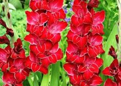 "Thinking I should add in some gladiolus this year. Gladiolus Flower Bulbs ""Baccara"""