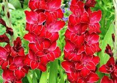 "Thinking I should add in some gladiolus this year. Gladiolus Flower Bulbs ""Baccara"""