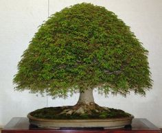 Houseplants That Filter the Air We Breathe Bonsai Trees Bonsai Tree Bonsai Acer, Maple Bonsai, Bonsai Seeds, Bonsai Plants, Bonsai Garden, Garden Plants, Indoor Plants, Bougainvillea Bonsai, Indoor Gardening