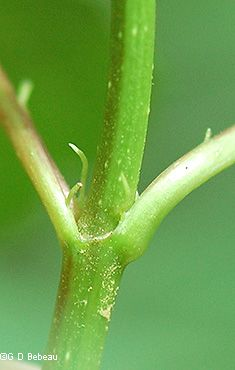Leaf stipule