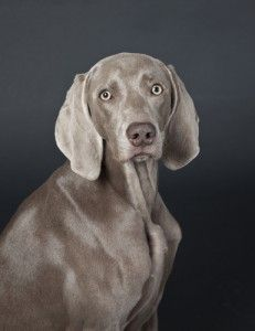 Breed Spotlight on the Weimaraner! This graceful, highly energetic dog was bred for hunting large game yet has become the truest companion of families around the nation!