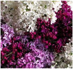 lilacs- my favorite flower. They smell amazing.