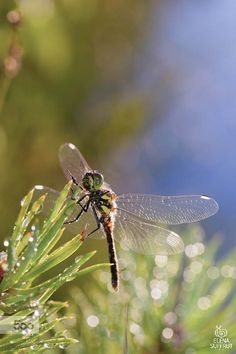 Dragonfly and water drops by Elena S on 500px