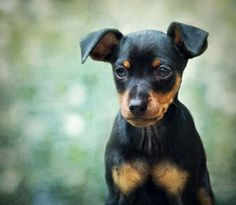 "Miniature Pinscher""Min Pins"" are sturdy, compact dogs known as the ""King of Toys."" A distinguishing characteristic of the breed is its high-stepping ""hackney"" gait, reminiscent of a hackney horse at the trot. Min Pins bond tightly with their humans and tend to be vocal, making them excellent watchdogs. Photo: MariClick Photography, Getty Images / Moment Open"
