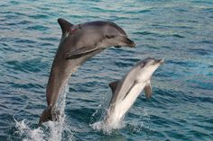 Bottlenose Dolphin Facts for Kids | Dolphin Photos