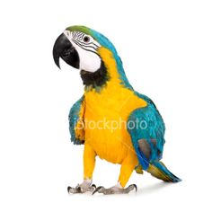 Young Blue-and-yellow Macaw - Ara ararauna (8 months) - Stock Photo - iStock