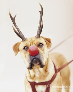 Rudolph (Boxer)  Rudolph the red nose...