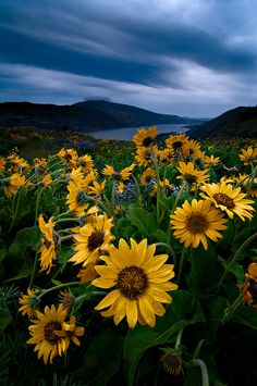 ~~Sunshine on a Cloudy Day ~  sunflowers, The Dalles, Columbia River Gorge, Oregon by Deej6~~