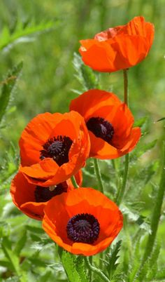 Today, poppies have been linked with Flanders fields as an emblem of people who died in World War I. Maintaining knowledge of these essential facts about how to grow poppies is critical. Plant Oriental poppy where you desire it. Orange Flowers, Red Poppies, Wild Flowers, Beautiful Flowers, Poppy Flowers, Orange Poppy, Poppy Flower Garden, Cactus Flower, Flowers Garden