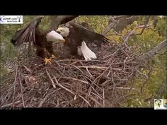 Amazing watching this Eagle pair build their nest!!!  AEF DC EAGLE CAM:  01-04 NOV 2017 - Hard at Work - YouTube
