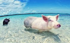 Swimming with pigs in the bahamas! #bucketlist #travel #vacation