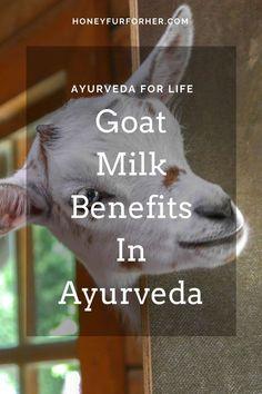 Goats milk benefits for digestion issues, bleeding disorders, weakness are highly praised in Ayurveda. #ayurvedalife #goatmilkbenefitshealthy #honeyfurforher