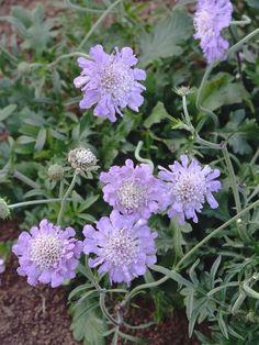 Field Scabiosa Often Used in Meadow Flower Mix