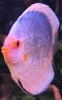 Discus Fish, Freshwater Aquarium, Fresh Water, Ocean, Angel, Pets, Dark, Animals, Beautiful