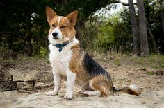 Are Corgi Beagle Mix Pups Really Great Family Pets For New Owners?