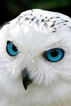 Snow owl-show this to Maxwell
