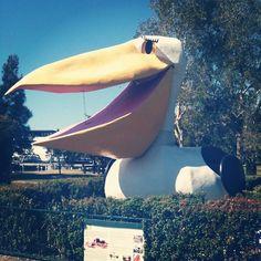 Big Pelican in Noosaville, Sunshine Coast, QLD Aussie Australia, Queensland Australia, Rainbow Beach, Fraser Island, Great Barrier Reef, Sunshine Coast, Holiday Destinations, Beautiful Beaches, Worlds Largest