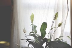 Peace lily: his gorgeous plant is a massive pollutant absorber, combating formaldehyde, benzene, trichloroethylene, toluene and xylene. It doesn't require much care, either – just a once-weekly watering and your choice of shaded or bright environment.  Source: 5 Houseplants That Clean The Air | Free People Blog http://blog.freepeople.com/2013/10/5-houseplants-clean-air/#ixzz2hNYdLZ2s