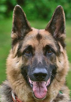 german shepherd i have a beautiful german shepherd and i cannot imagine my life without her she has taught me through her eyes how unconditional love is and now i have a body guard too!1