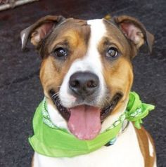 SAFE 03/10/16 JANEY – A1066884 I'M SAFE I HAVE BE LOVED AND RESCUE THANK YOU Safe | 3-10-2016 Manhattan  Rescue: Pound Hounds Res-Q