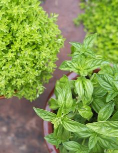 Basil is my can't-live-without-it herb. Its aroma simply exudes summer. I generously sprinkle it over caprese salads, add it whole-leaf into spicy Thai soups, muddle it into Bloody Marys, and make sweet basil syrup for my sliced summer strawberries. And don't even get me started about how liberally I toss freshly chopped basil on my pizza; I know I'm not alone here. Many times, an established basil plant is less expensive than those packages of basil you find in the grocery store. So stop…