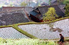 Rice fields.. China