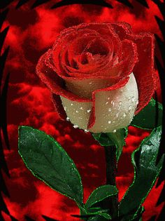 The perfect RedRose Love Rose Animated GIF for your conversation. Red Rose Love, Beautiful Rose Flowers, Beautiful Gif, Purple Flowers, Good Morning Flowers Gif, Morning Rose, Rosas Gif, Rainbow Roses, Rose Images