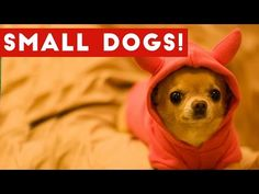 Funny Small Dogs With Big Attitudes Compilation 2017 | Best Funny Dog Videos Ever -  #dogs #funnydogs #puppy #doglover #animals #pet #cute #pets #animales #tagsforlikes Stop Your Dog's Behavior Problems! Click HERE to learn how! Funny Pet Videos presents a brand new weekly compilation featuring the funniest small dogs with the biggest attitude videos, clips, outtake,... - #Dogs