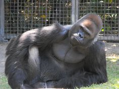 Gorilla - Audubon Zoo in New Orleans, Louisiana  - My boy Casey! One of the most handsome gorillas! Of course I'm prejudiced... He was born in Brownsville but at 6 wks moved to Como Zoo where he lived with my family for about 2 years before going back to the zoo where he lived with Katie, an orangutan who also grew up with us.
