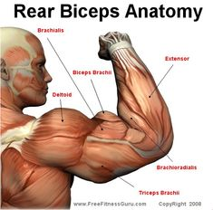 82 best Bodybuilding - Fitness Workout Charts Anatomy images on ...