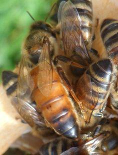 Close-Up Of Queen Bee