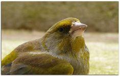 Greenfinch, Parcs, Champs, Europe, Bird, Belgium, Birds