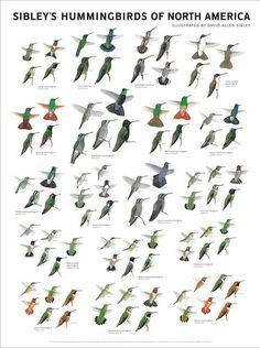 Sibley's Hummingbirds of North America, illustrated by David Allen Sibley Little Birds, Love Birds, Beautiful Birds, Bird Identification, Hummingbird Garden, Hummingbird Food, Hummingbird Photos, Humming Bird Feeders, Humming Birds