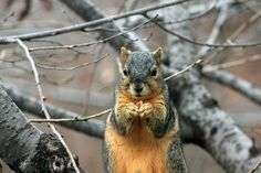 🌈 Check out this free photoSquirrel nuts trees close up    🏁 https://avopix.com/photo/47003-squirrel-nuts-trees-close-up    #rodent #fox squirrel #squirrel #tree squirrel #mammal #avopix #free #photos #public #domain
