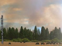 Cows grazing while fires are blazing.