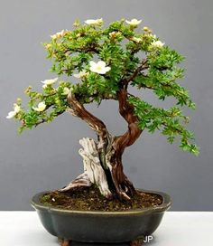Bonsai via Club de Bonsaitas