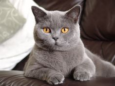 British Shorthair I would love to have a cat like this someday!!