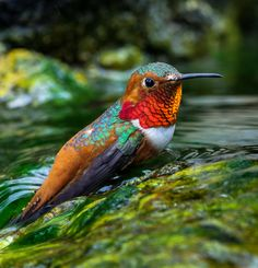Allen's Hummingbird. Photo: Barry Schirm/Audubon Photography Awards.