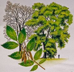 Ash Tree Identification | Ash is the commonest tree in Irish hedgerows, and is also a ...