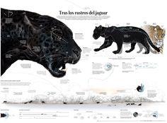 In the trail of the Jaguar - Visualoop