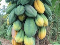 Babaco fruit images wallpaper