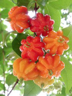 Surinam Cherries || Photo taken at the University of Hawai'i at Manoa
