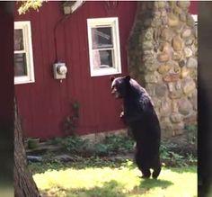 """""""O Grito do Bicho"""": Morte de urso famoso por andar sobre duas patas ge..."""