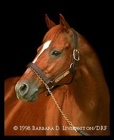 Affirmed, Triple Crown winner--Saw him and Alydar from a distance, not close up, at Calumet in 1989 and I lived with and was the first girlfriend of his trainer Laz Barrera son , Larry who is also now deceased Pretty Horses, Beautiful Horses, Animals Beautiful, Animals And Pets, Cute Animals, Triple Crown Winners, American Pharoah, Thoroughbred Horse, Clydesdale Horses