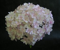Hydrangea macrophylla 'Peace'. A great new introduction from Japan, in 2000.  Multiple whorls of sepals give the appearance of 'double flowers'.  Large flowerhead, 160mm across.