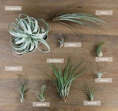 Plantas-aereas-variedades.jpg (700×662)