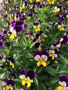 Edible flowers | JORY | The Allison Inn & Spa Chef's Garden