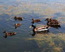 Mallard ducks, a local favorite.  5x7 $12.00